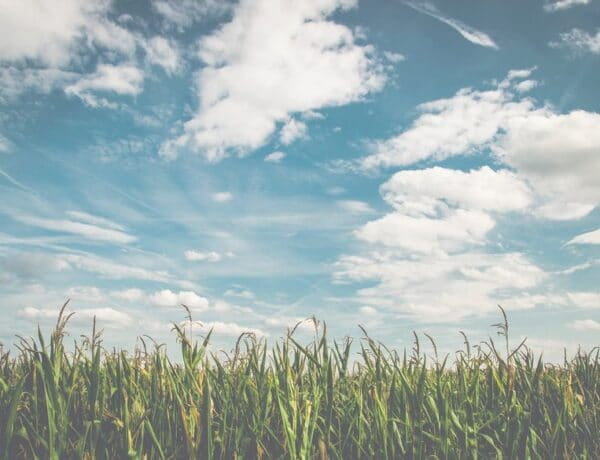 Cornfield and the sky